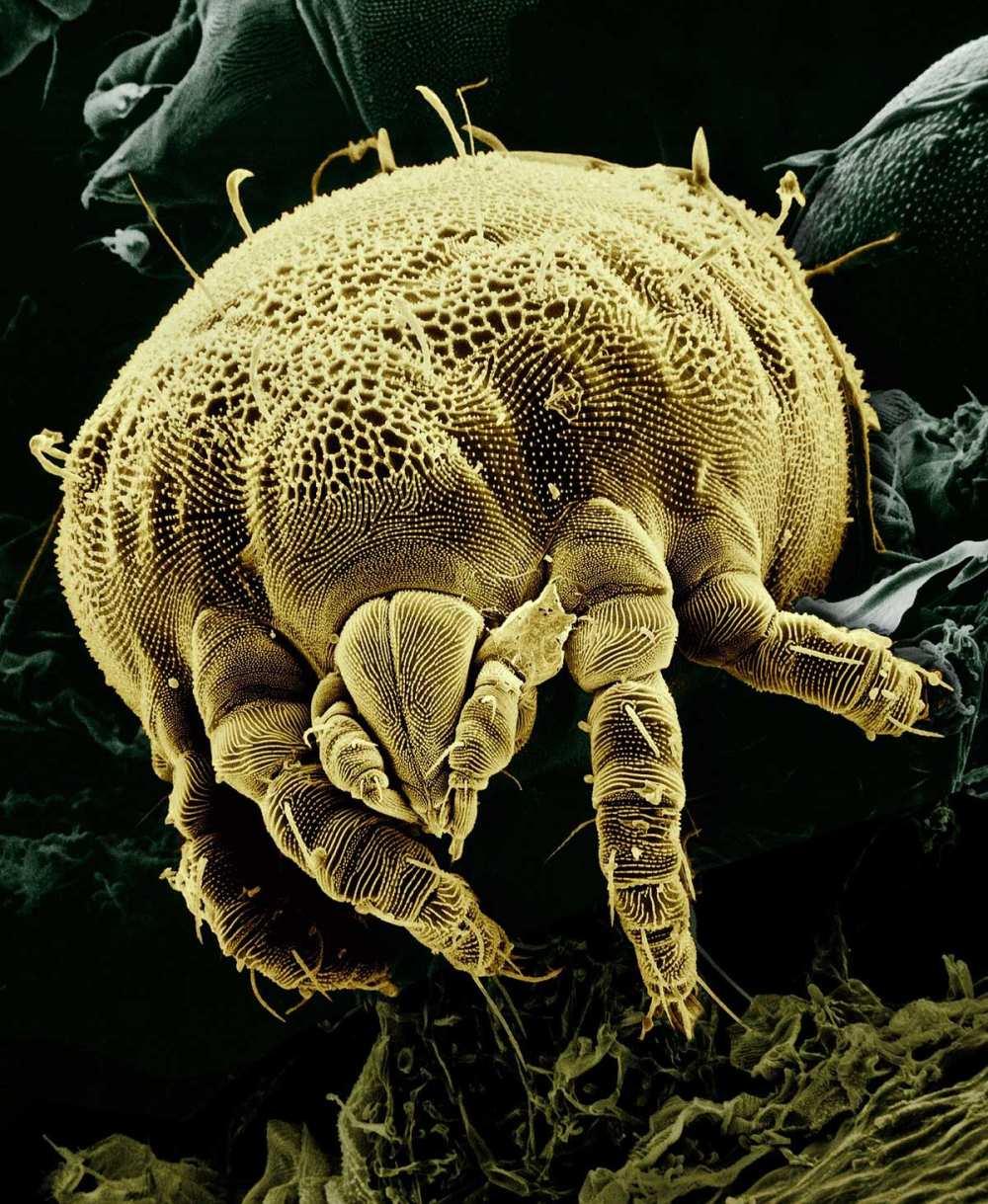 gwne yellow mite 847873 1920